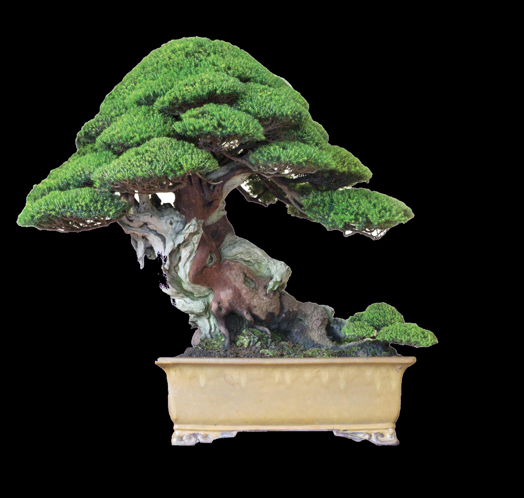 Arbores Bonsai Club